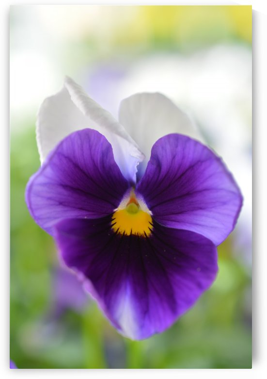 Soft Blue Pansy Photograph by Katherine Lindsey Photography
