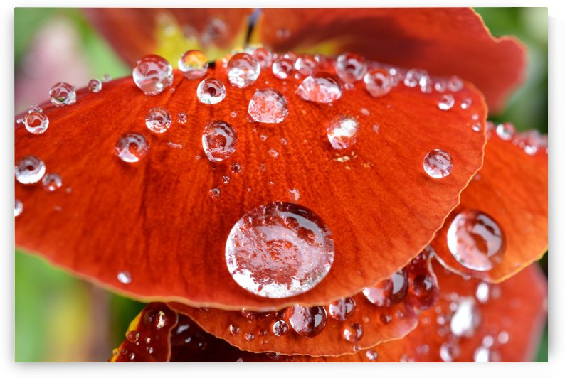 Raindrops On Orange Pansy Petal Photograph by Katherine Lindsey Photography
