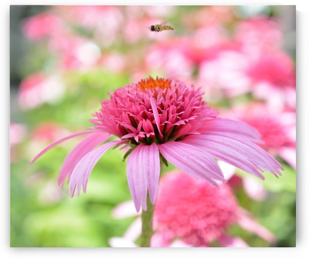 Pink Flower With Bee Photograph by Katherine Lindsey Photography