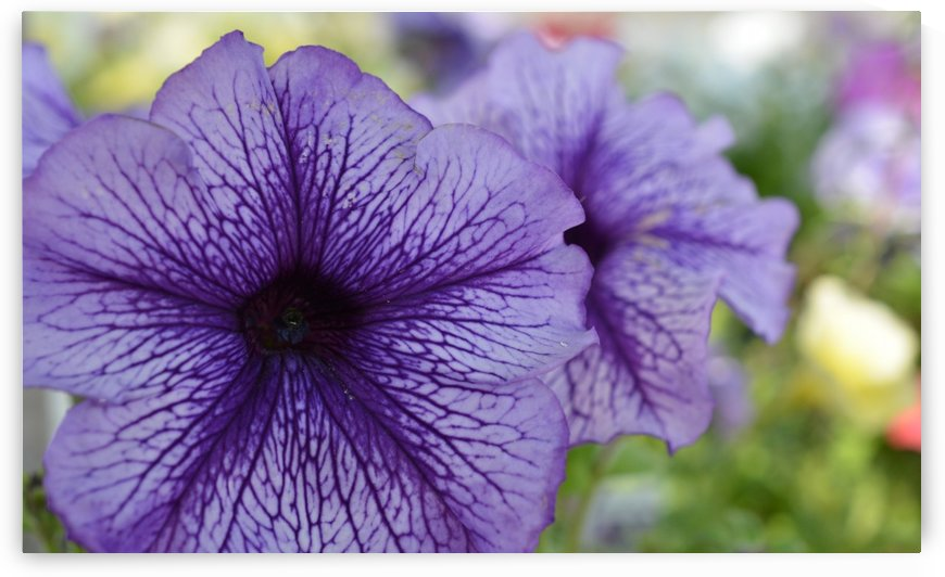 Blue Petunia Photograph  by Katherine Lindsey Photography