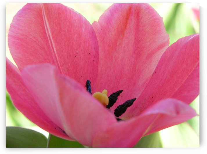Beautiful Pink Tulip Photograph by Katherine Lindsey Photography