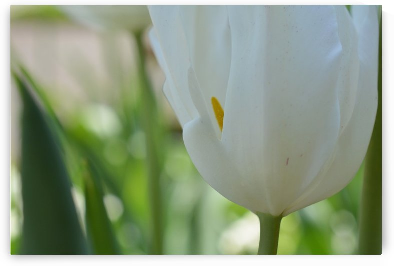 White Tulip Photograph by Katherine Lindsey Photography