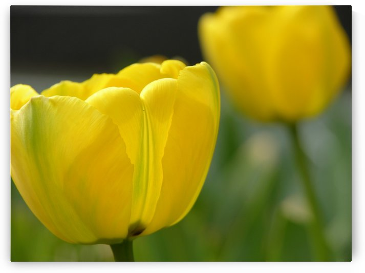 Yellow Tulip Photograph by Katherine Lindsey Photography