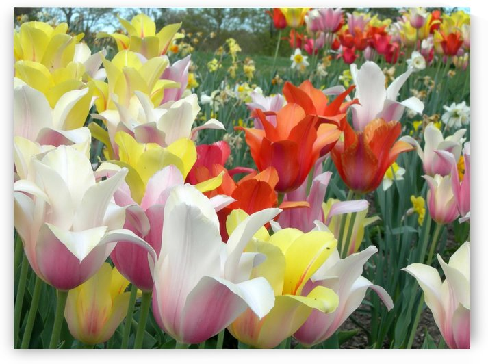 Beautiful Tulip Garden Photograph by Katherine Lindsey Photography