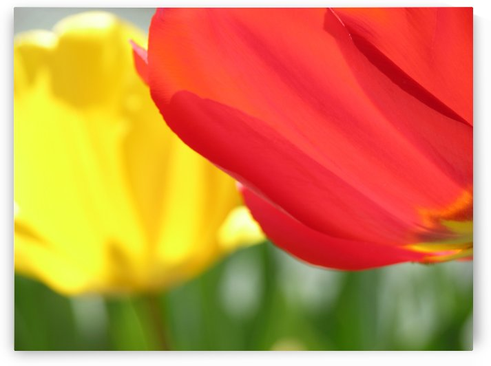 Red & Yellow Tulips Photograph by Katherine Lindsey Photography