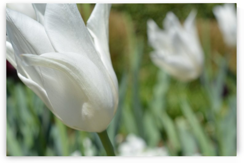 Wind Swept White Tulips Photograph by Katherine Lindsey Photography