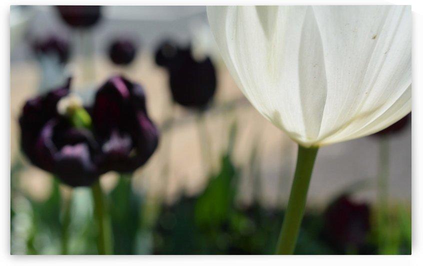 Beautiful White Tulip Photograph by Katherine Lindsey Photography