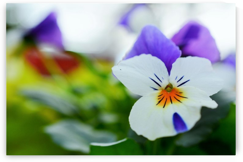 White Pansy Photograph by Katherine Lindsey Photography