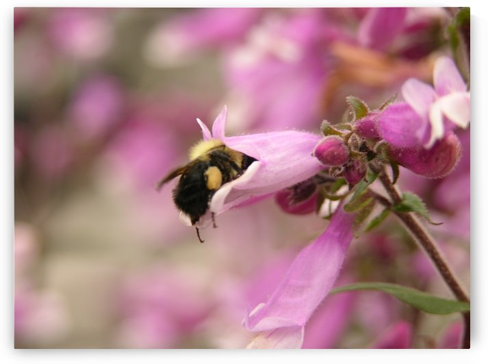 Bee In Pink Flower Photograph by Katherine Lindsey Photography