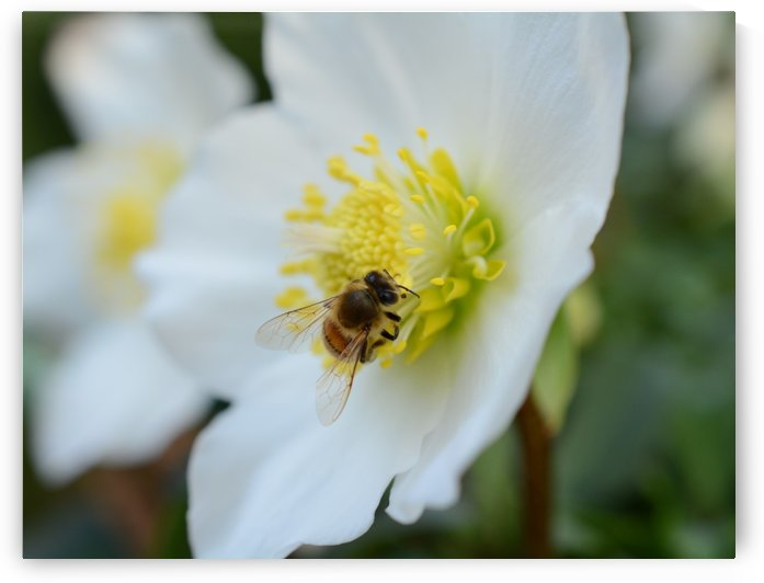 Bee On White Flower Photograph by Katherine Lindsey Photography