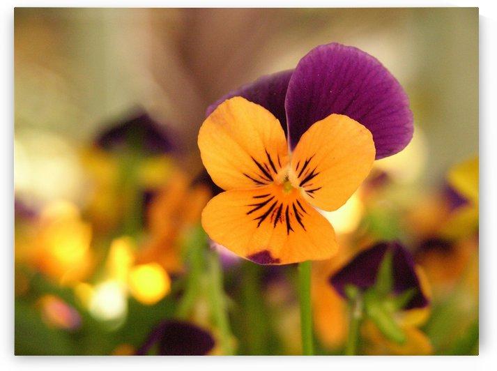 Orange Pansy Photograph by Katherine Lindsey Photography