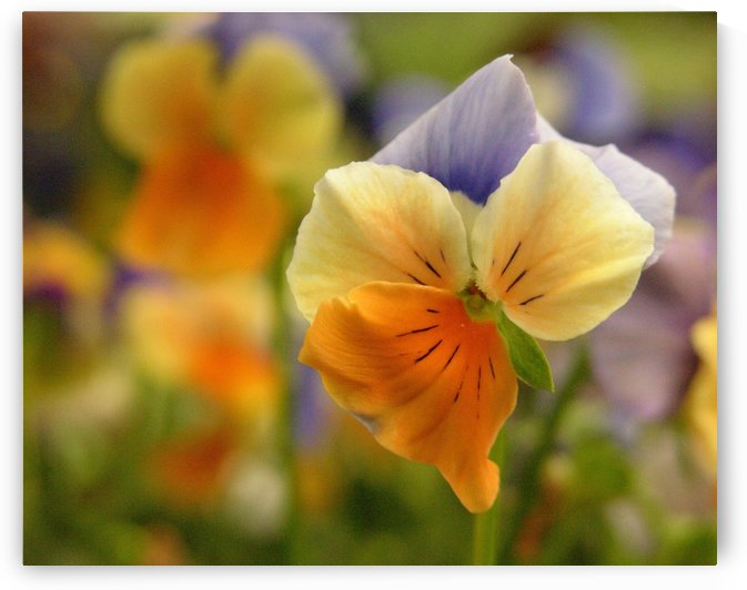 Orange & Blue Pansy Photograph by Katherine Lindsey Photography