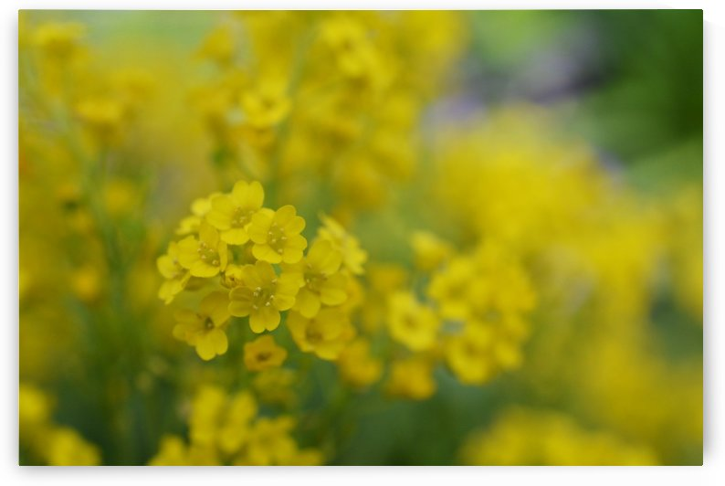 Small Yellow Flowers Photograph by Katherine Lindsey Photography