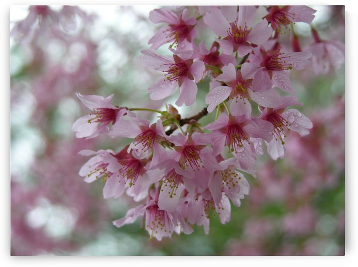 Pink Cherry Blossoms Photograph by Katherine Lindsey Photography