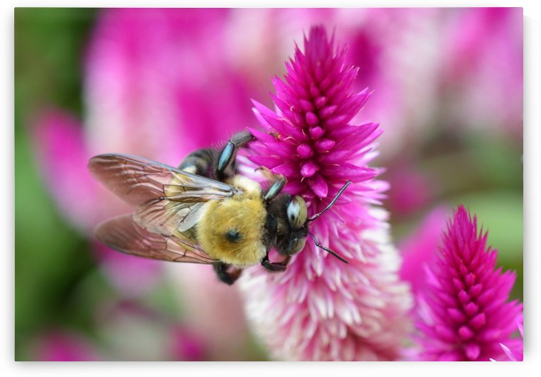 Bee On Pink Flower Photograph by Katherine Lindsey Photography
