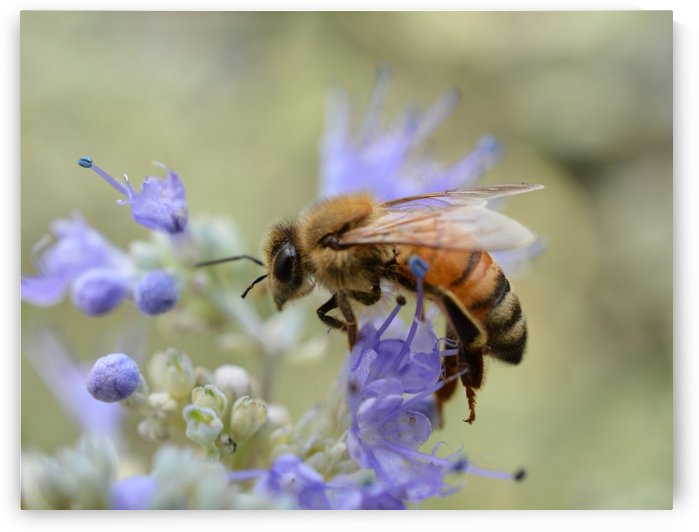 Bee On Blue Flower Photograph by Katherine Lindsey Photography