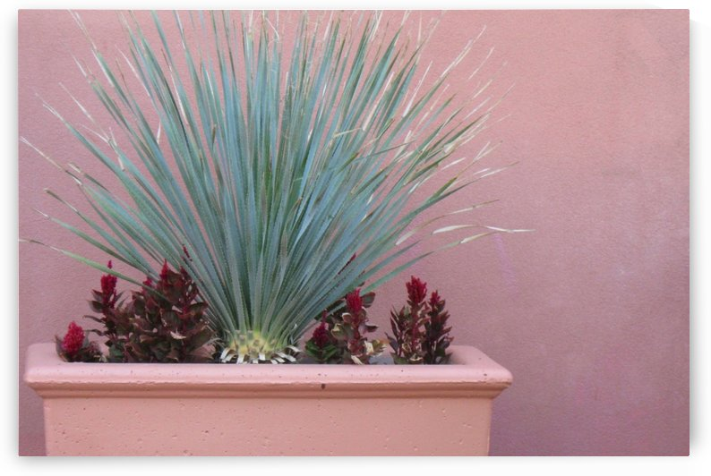 Beautiful Century Plant In A Pink Planter Photograph by Katherine Lindsey Photography