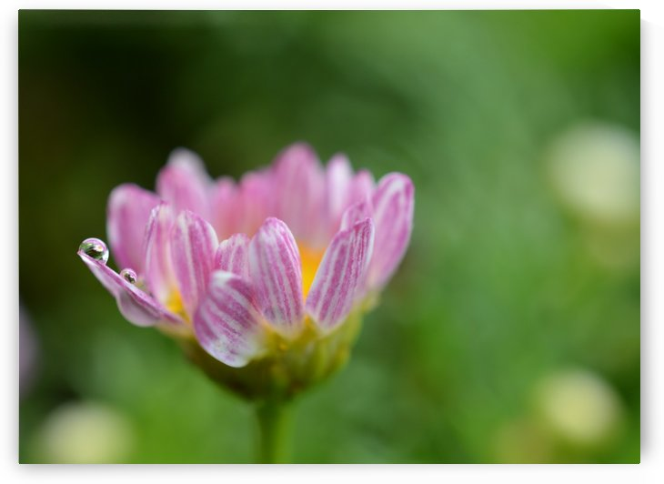 Pink Flower With Rain Drop Photograph by Katherine Lindsey Photography