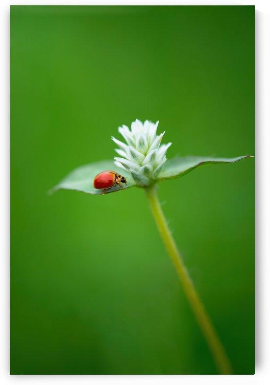 Ladybug on tiny flower by Krit of Studio OMG