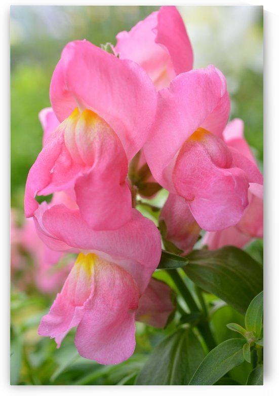 Pink Snapdragon Photograph  by Katherine Lindsey Photography