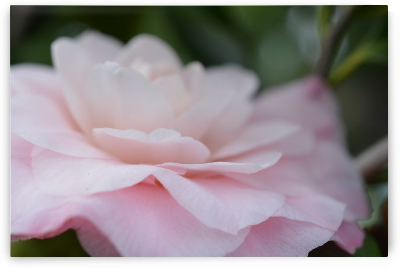 Soft Pink Flower Photography by Katherine Lindsey Photography