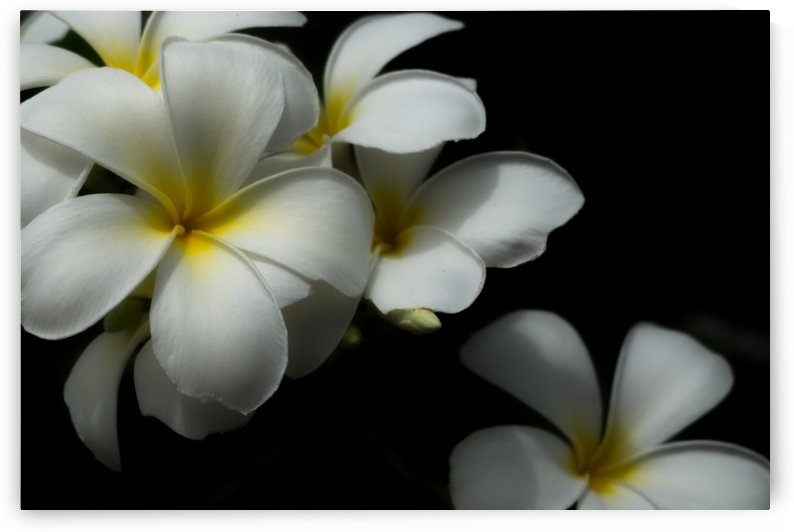 White plumeria by Krit of Studio OMG