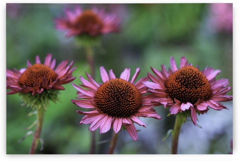 Echinacea purpurea by William Gillard