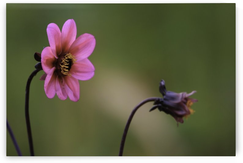 Bloom by William Gillard