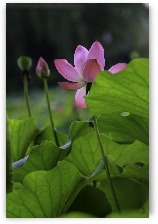 Lotus by William Gillard