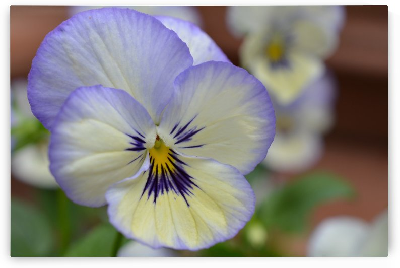 Blue White Pansy Photograph by Katherine Lindsey Photography