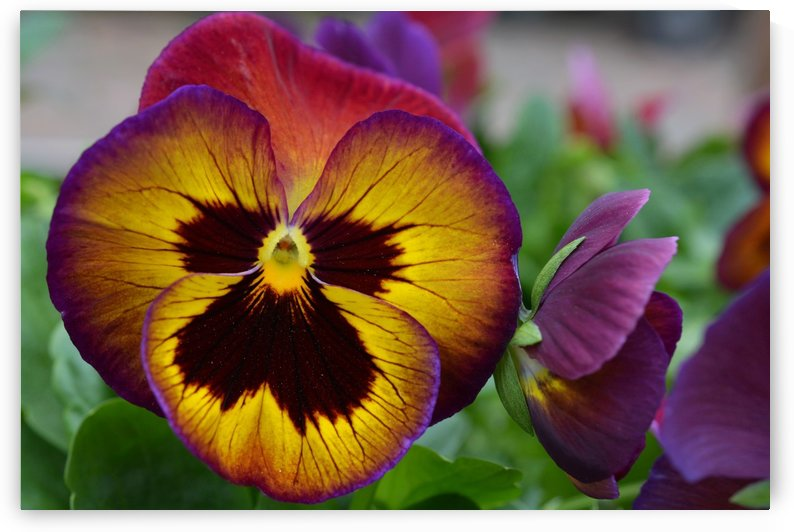 Yellow Purple Pansy Photograph by Katherine Lindsey Photography