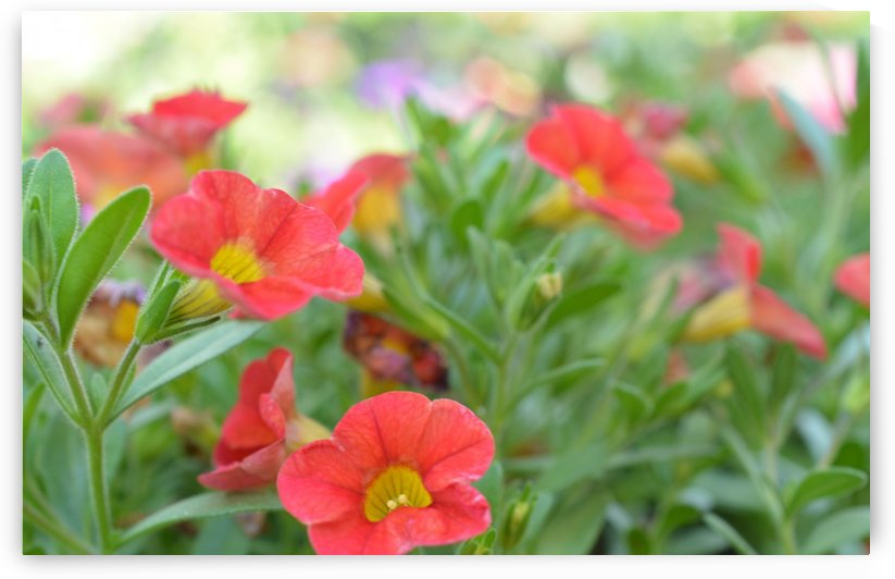 Soft Red Flowers Photograph by Katherine Lindsey Photography