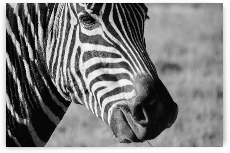 Zebra Stripes by Creative Chronicles