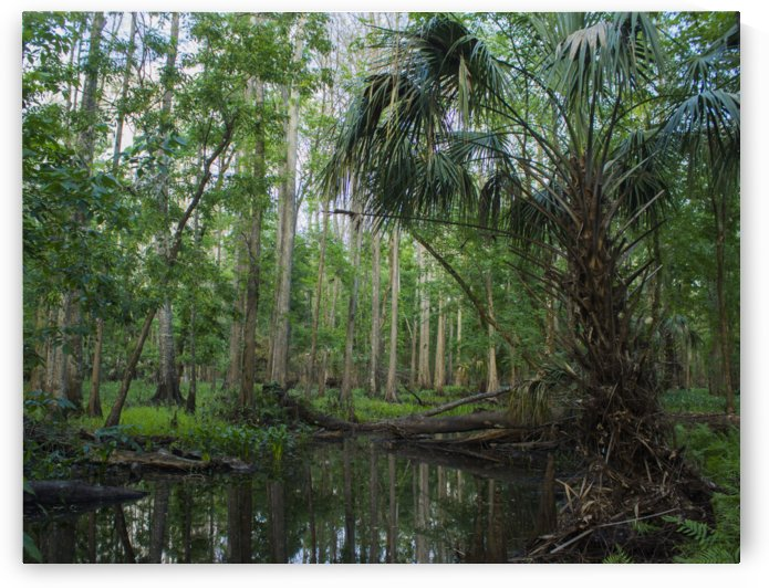 Palmetto in the Swamp by Peter Kaple