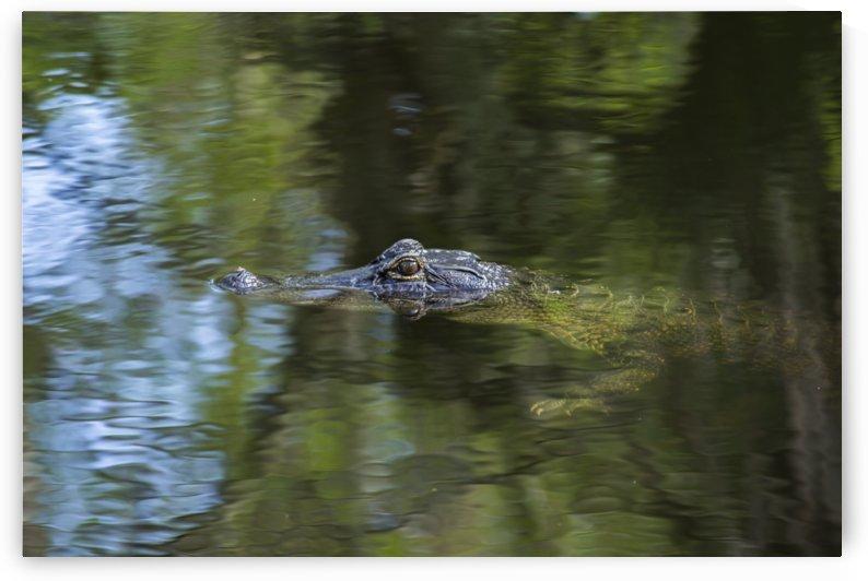 Alligator Swimming  by Peter Kaple