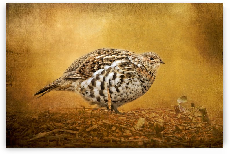 Female Ruffed Grouse by Michel Soucy