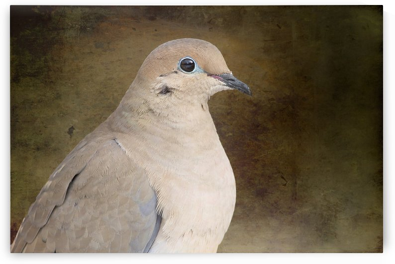 Mourning Dove by Michel Soucy