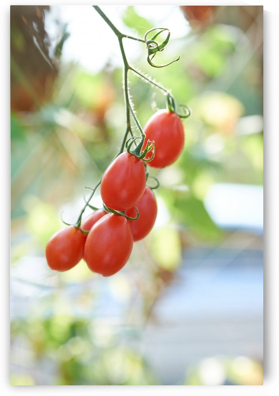 Ripe tomato hanging by Krit of Studio OMG