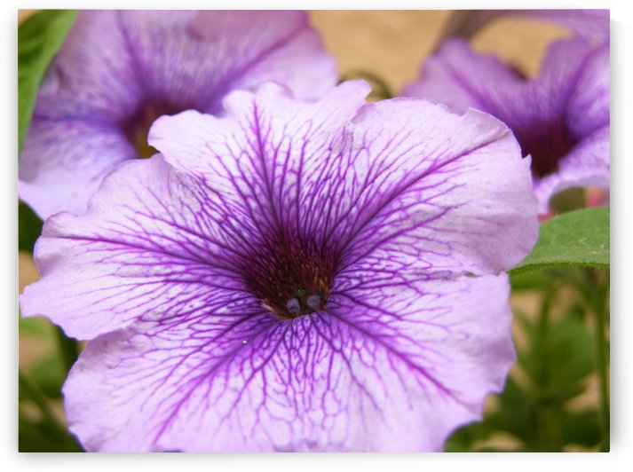 Purple Petunia Photograph by Katherine Lindsey Photography