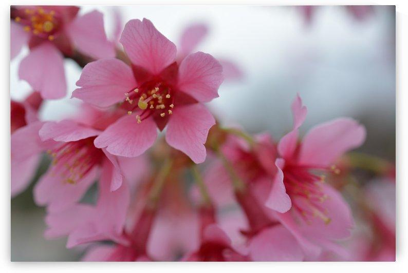Pink Dogwood Photograph by Katherine Lindsey Photography