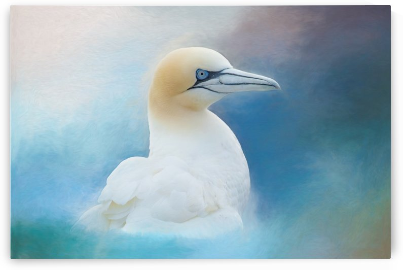 Northern Gannet ver2 by Michel Soucy