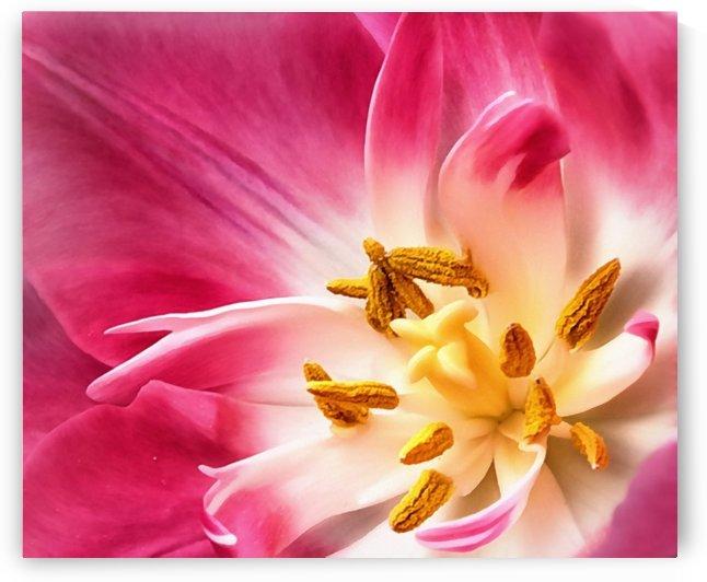 Tulip Macro by Illuminary Artworks