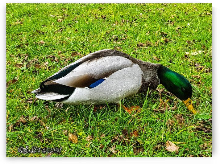 The Duck by IZGA Photography