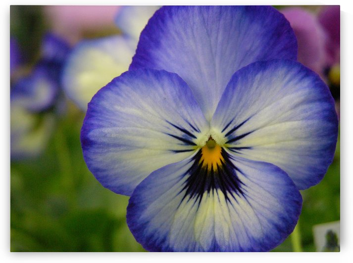 Beautiful Blue Pansy Photograph by Katherine Lindsey Photography