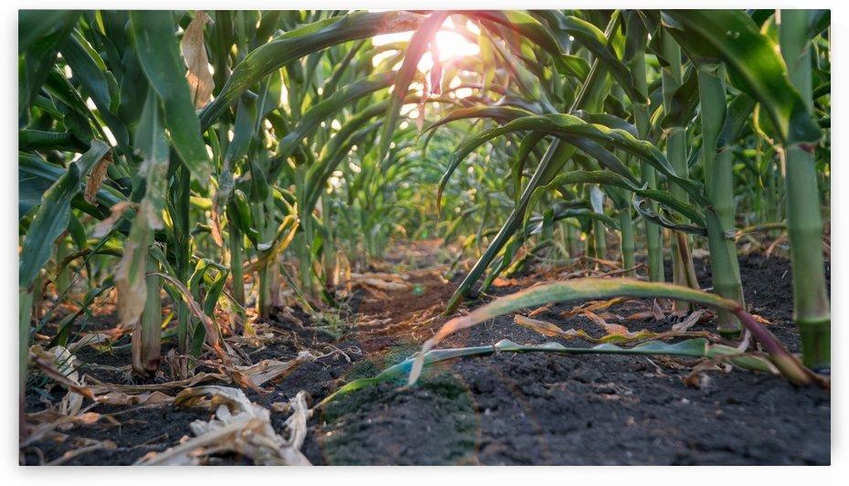 The Corn Maze by CWarren