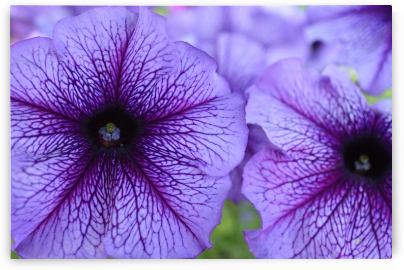Purple Petunia Garden Photograph by Katherine Lindsey Photography