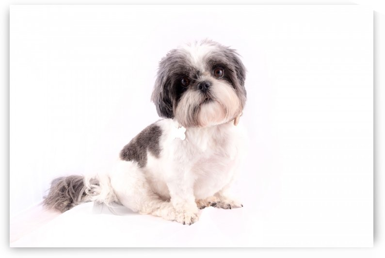 Innocent Shih Tzu  by Kieran Pearce