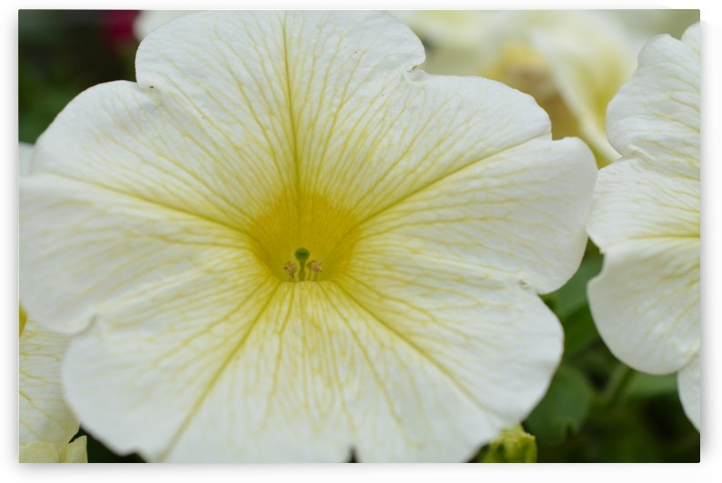 White Petunia Photograph by Katherine Lindsey Photography