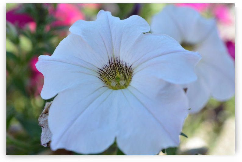 Beautiful White Petunia Photograph by Katherine Lindsey Photography