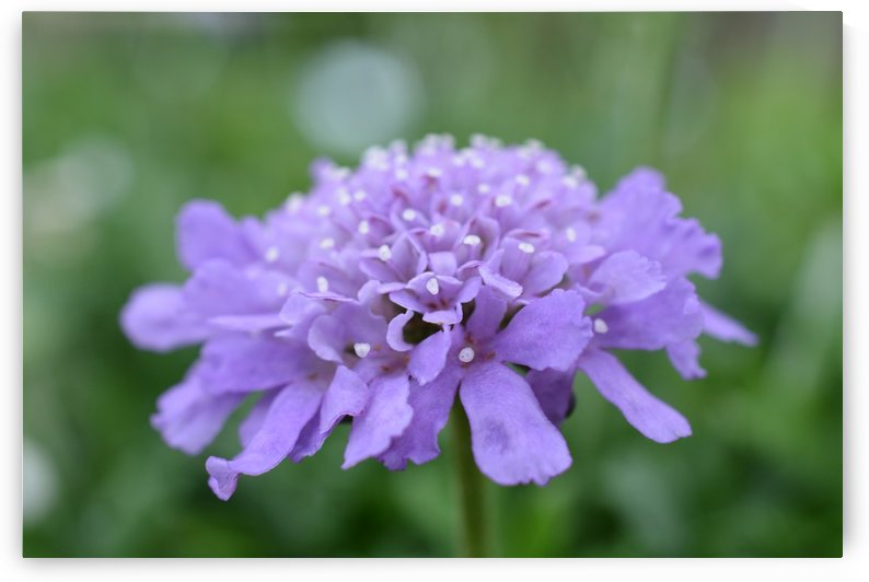 Purple Pincushion Flower Photograph  by Katherine Lindsey Photography
